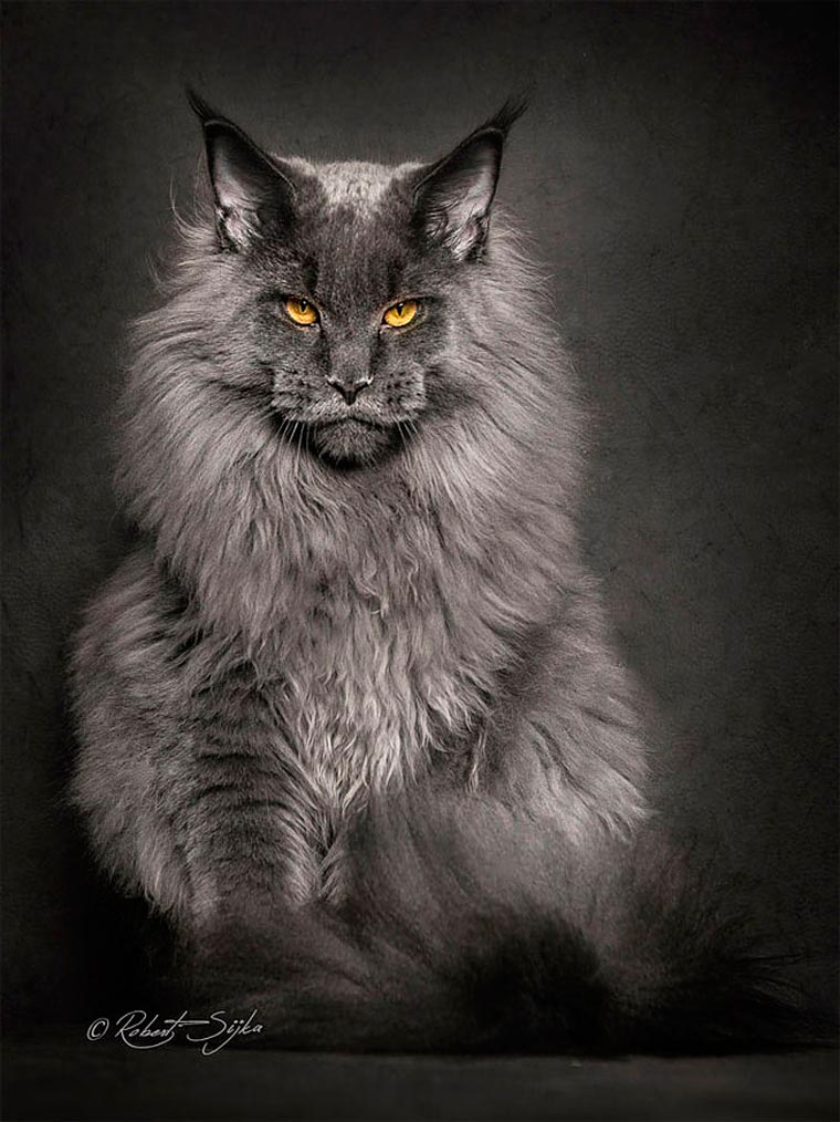 Maine Coons by Robert Sijka 02