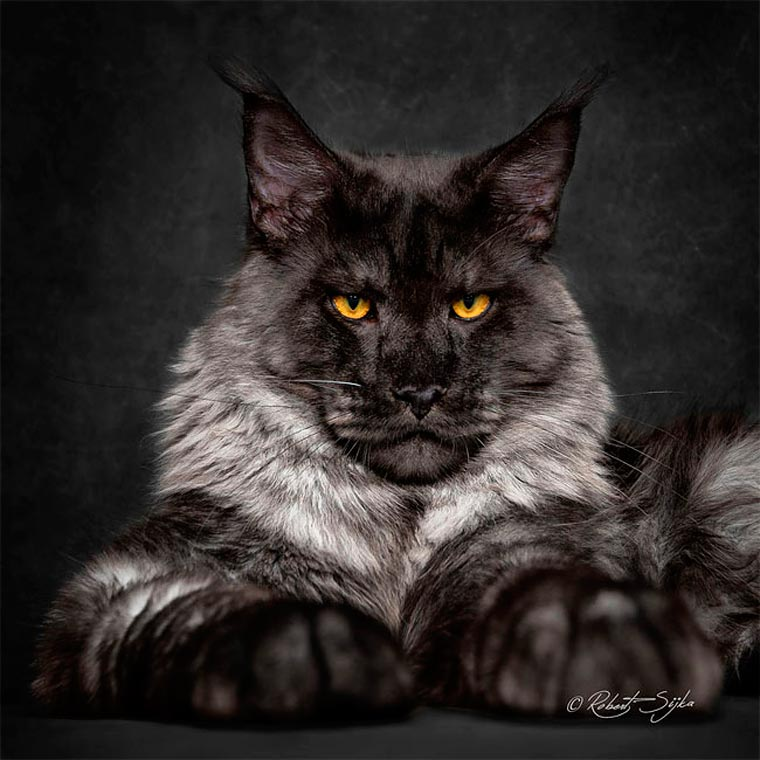 Maine Coons by Robert Sijka 04