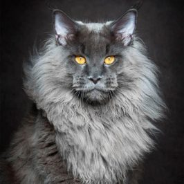 Maine Coons in Majestic Portrait Series by Robert Sijka