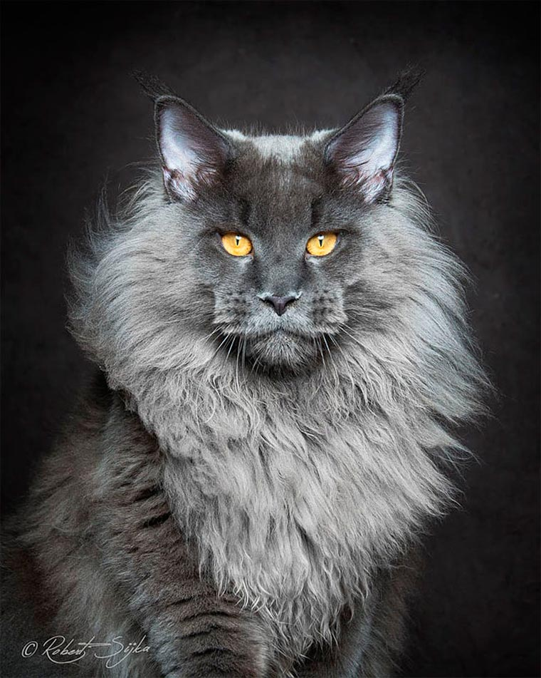 Maine Coons by Robert Sijka 05