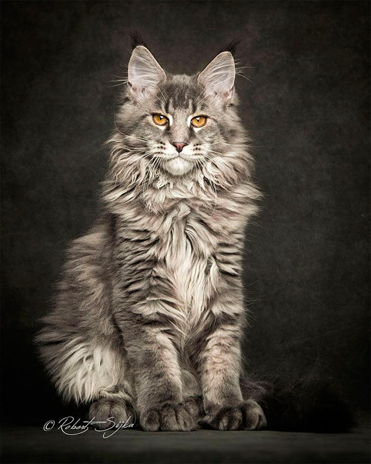 Maine Coons by Robert Sijka 06