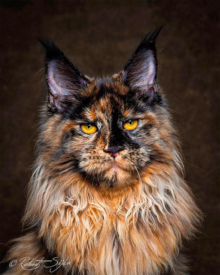 Maine Coons by Robert Sijka 07