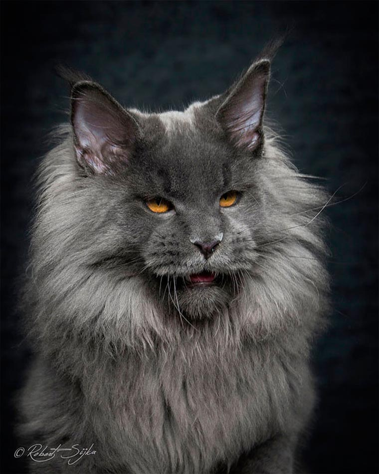 Maine Coons by Robert Sijka 09