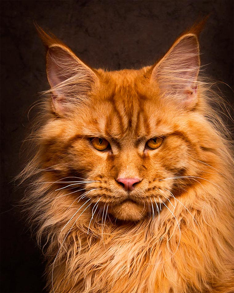 Maine Coons by Robert Sijka 11