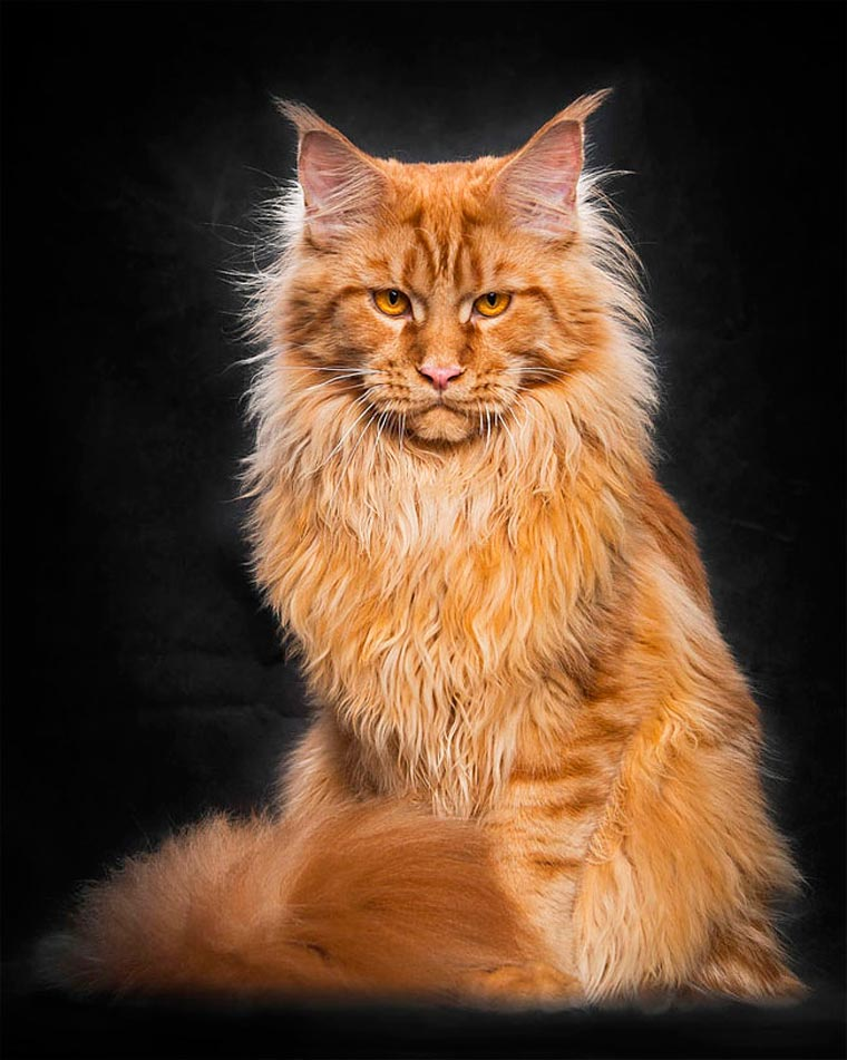 Maine Coons by Robert Sijka 12