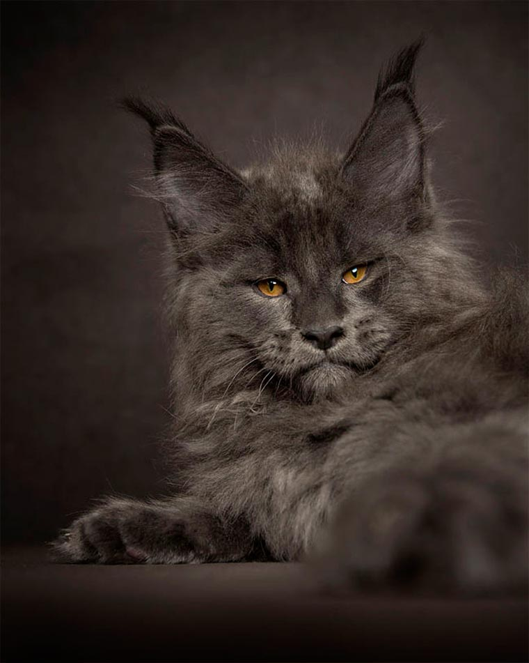 Maine Coons by Robert Sijka 13