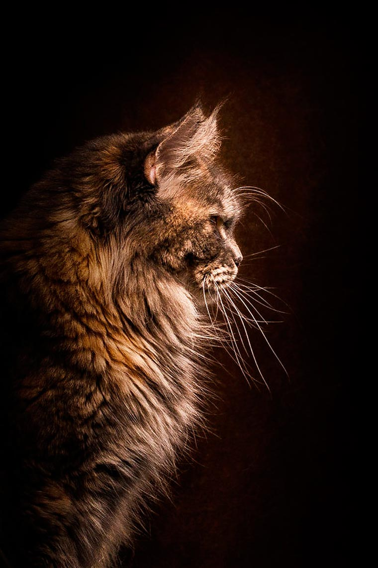 Maine Coons by Robert Sijka 14