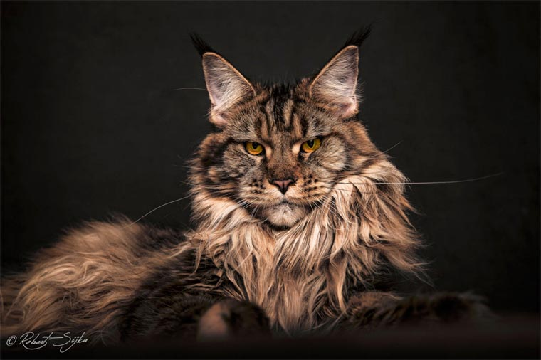 Maine Coons by Robert Sijka 15