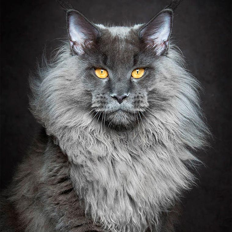 Maine Coons by Robert Sijka 16